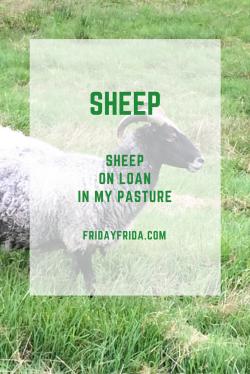 Sheep on Loan