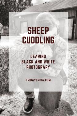 SheepCuddling