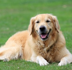 golden-retriever-164221_960_720